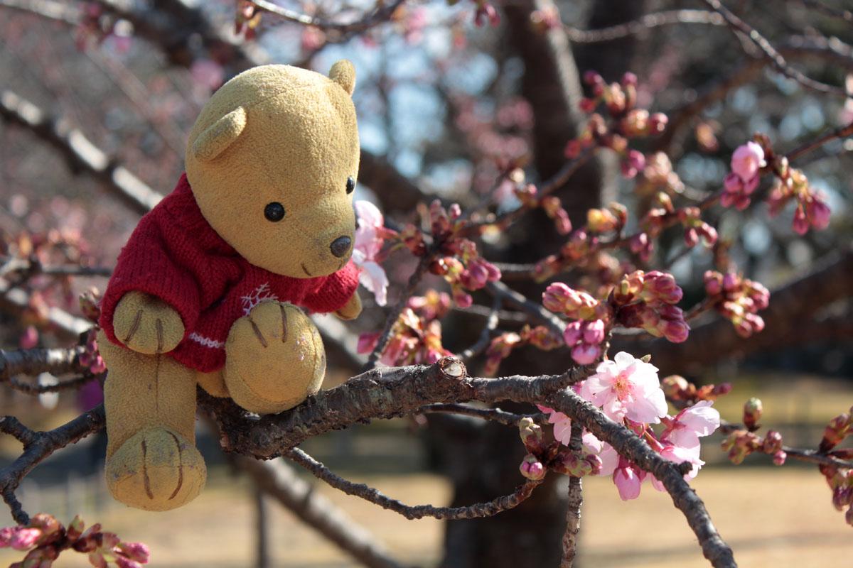 伊東小室桜が咲き始めた