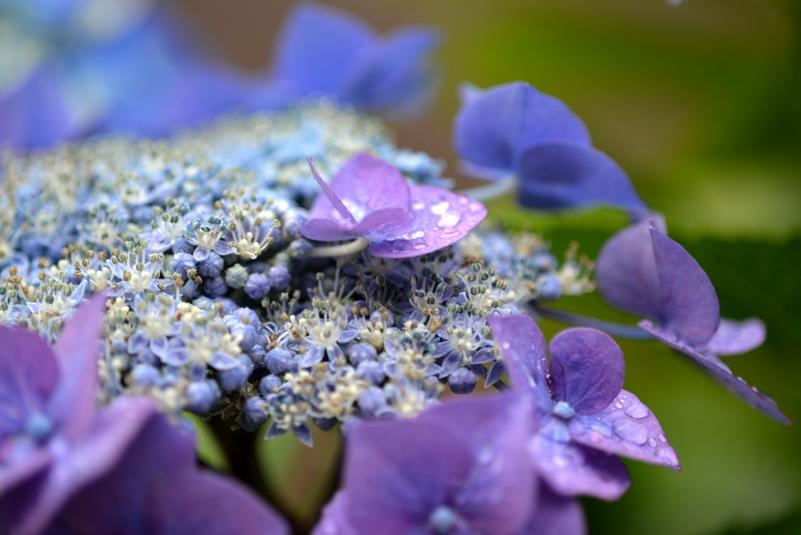 紫陽花 雨-1