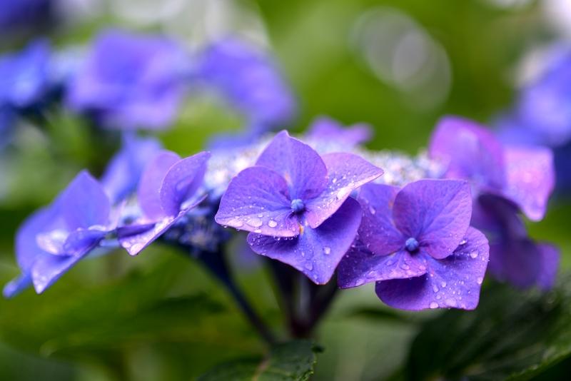 紫陽花 雨-4