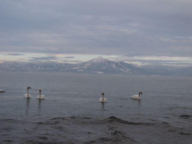 湖南の白鳥