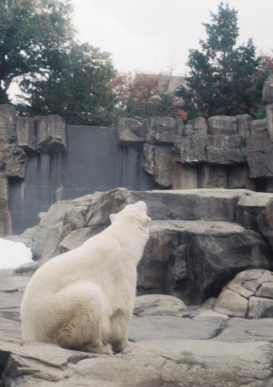 白熊さん1