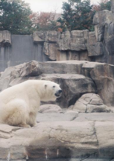 白熊さん2