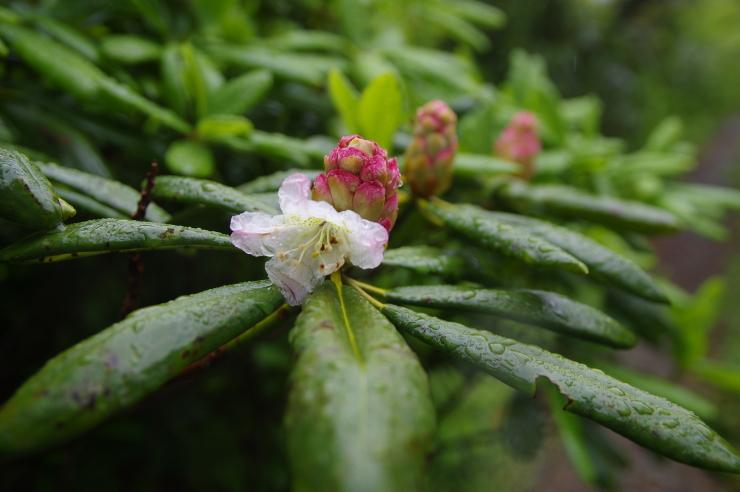 白山石楠花