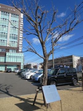 パース大学前、桑の木