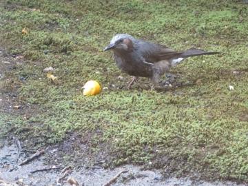 お隣の庭から金柑を持ち込み食べるヒヨドリ