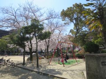 そばの池田駅前公園。桜が満開でした