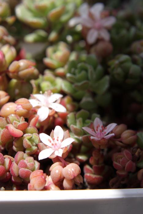 20150507スプリングワンダー花芽[1]