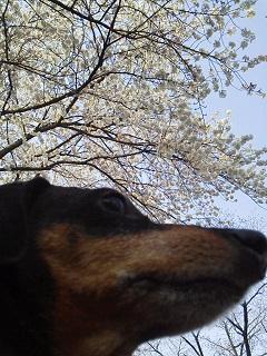 150330桜とピンパ