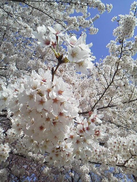 150402満開の桜
