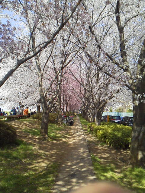 150402桜のトンネル