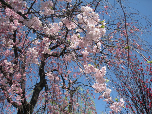 ボケと枝垂桜