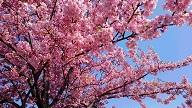 今年の河津桜.jpg