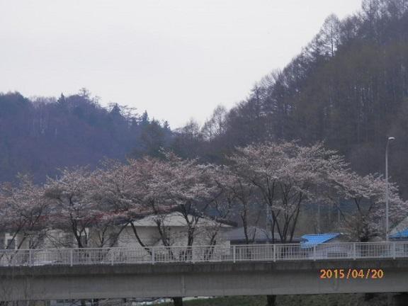 三原地区の桜