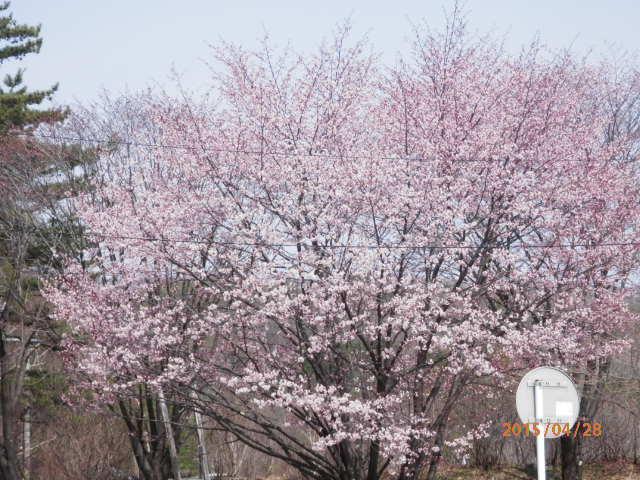 GW時開花の桜