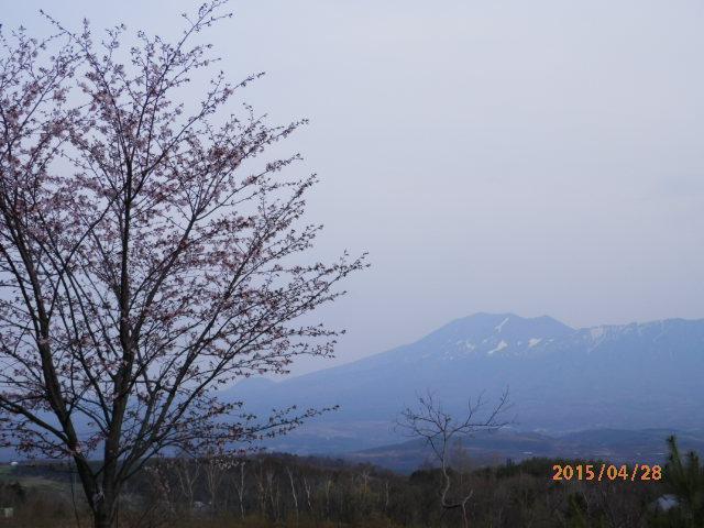 庭先の桜 4/28