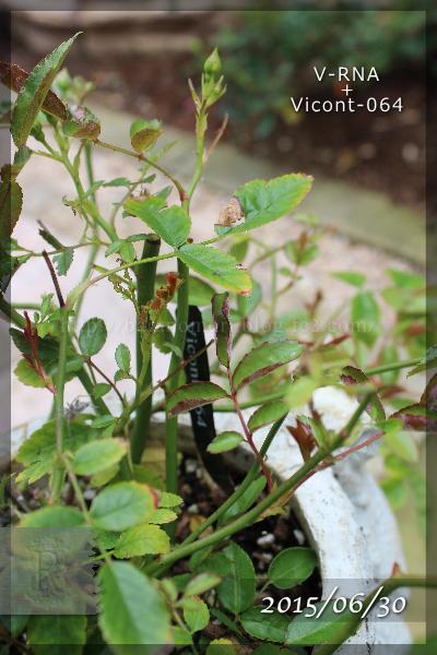 実験 肥料 Vicont064 20150630