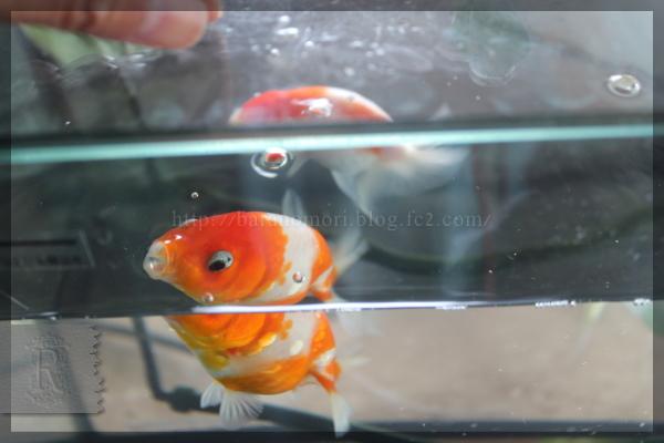 20150630 金魚 桜錦