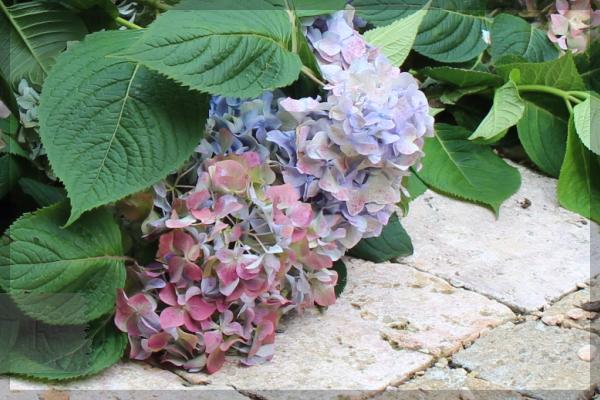 紫陽花 20150705