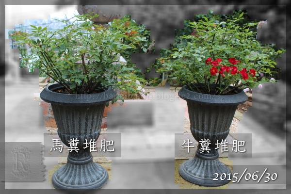 実験 肥料 牛糞堆肥 馬糞堆肥 20150630