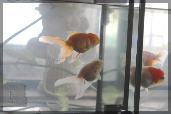 20150630 金魚 桜錦 オランダ獅子頭
