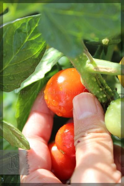 ミニトマト 千果 20150701