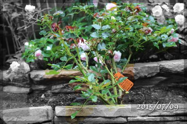 ガーデンオブローゼズ  20150709