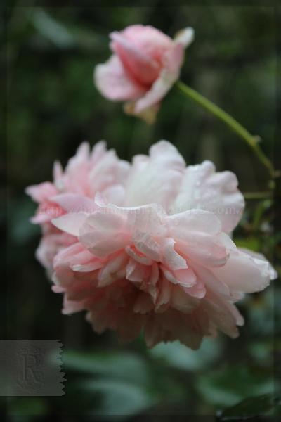 ピンクグラスアンアーヘン  20150709
