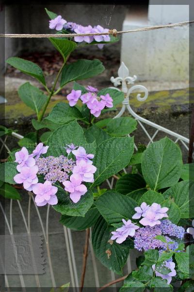 アジサイ 紫陽花 あじさい 20150626
