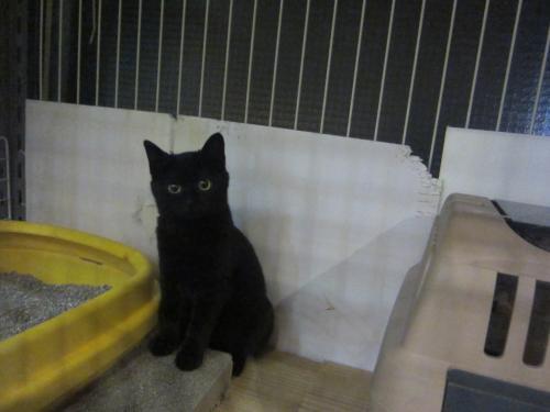 天売黒仔猫
