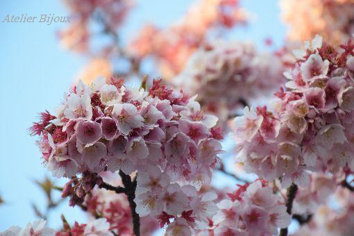 039-寒桜