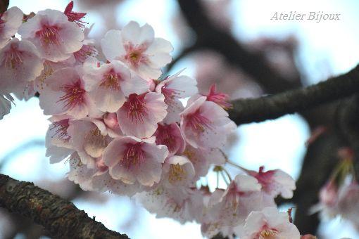042-寒桜