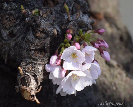 040-桜