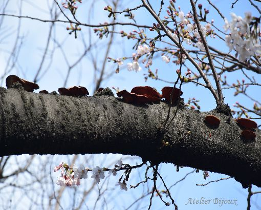 059-キノコ-桜