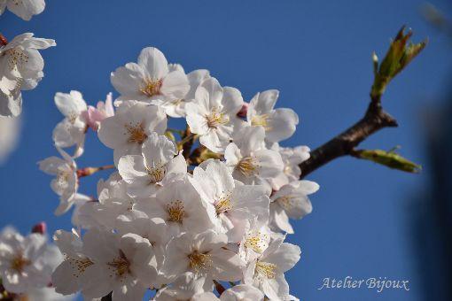 093-桜