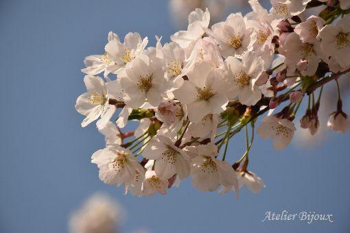 026-桜