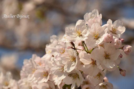 025-桜