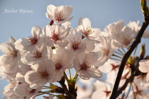 045-桜