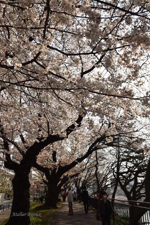 030-桜並木