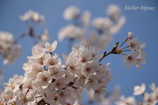 055-桜