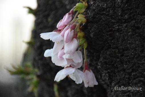 006-桜
