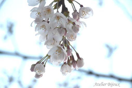 009-New-桜