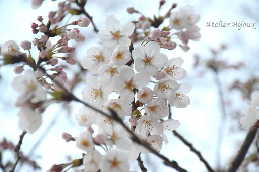 010-New-桜