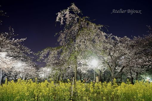 107-Blog-菜の花