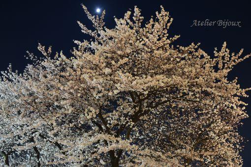 078-浅草寺桜-月