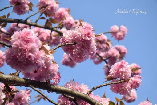 006-八重桜