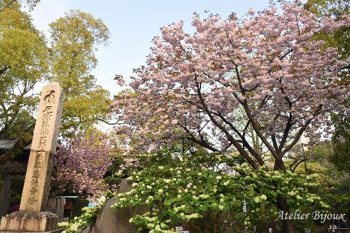 036-八重桜-大手毬