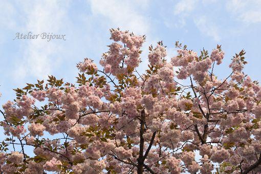 038-八重桜