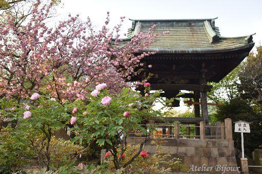 051-八重桜-牡丹