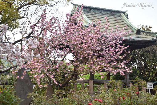 067-八重桜-牡丹