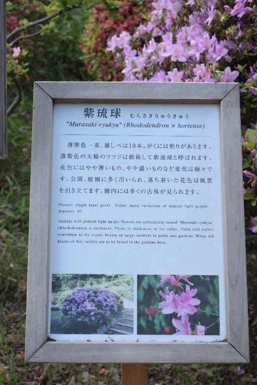 023-ツツジ-紫琉球